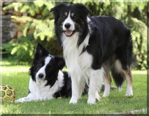 """Beide Hunde sind im Besitz von Franziska Räcke """"Bordercollies vom Koebishof"""" ..."""